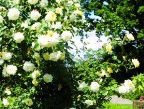 Der Rosengarten von Ulla Michalscheck